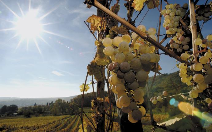Alsace wine: a beginner's guide