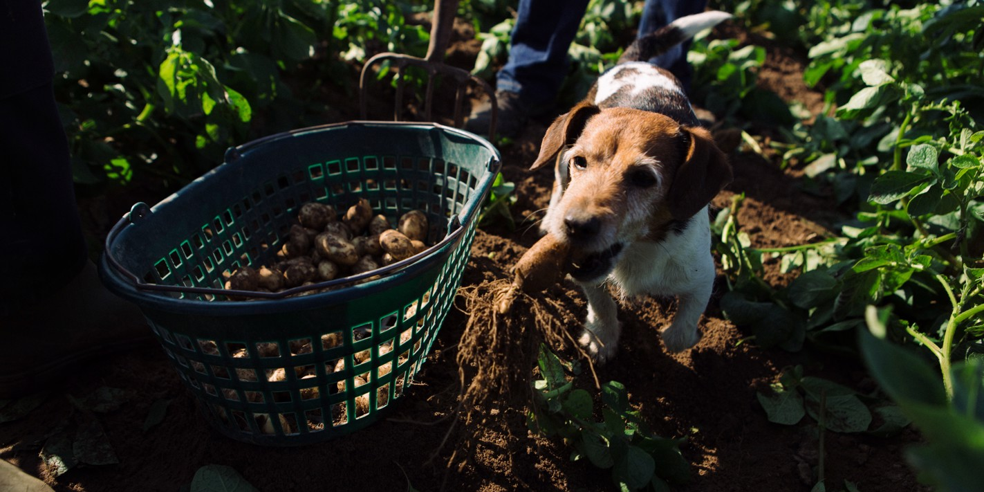 In pictures: the Jersey Royals harvest