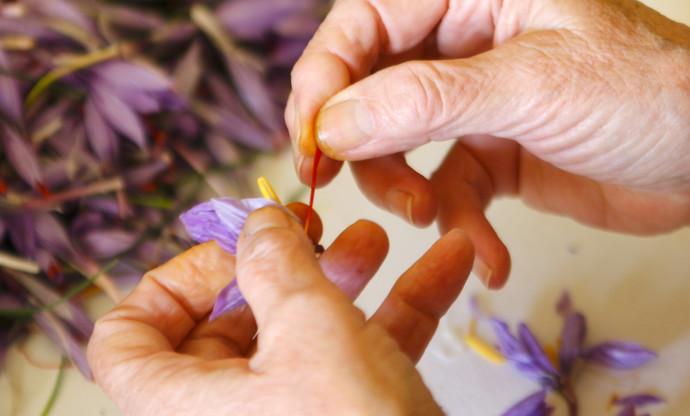 Santucci's legacy: the saffron plains of Abruzzo