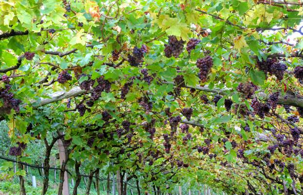 Trentino vineyard
