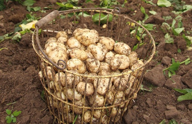 Pembrokeshire early potatoes resh from the field