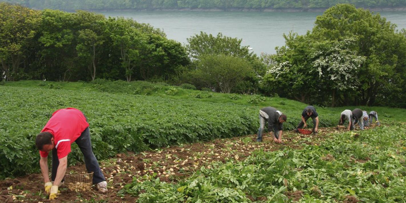 Harvesting Pembrokeshire Early Potatoes