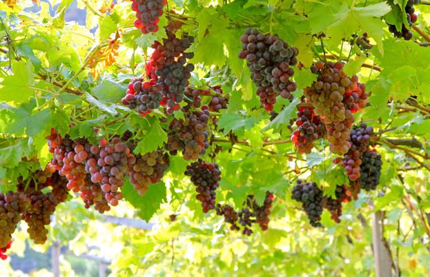 Pink and grey grapes