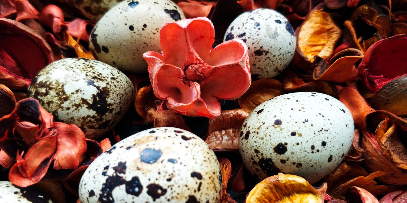 Cacao crazy: the chicken eggs that taste of chocolate